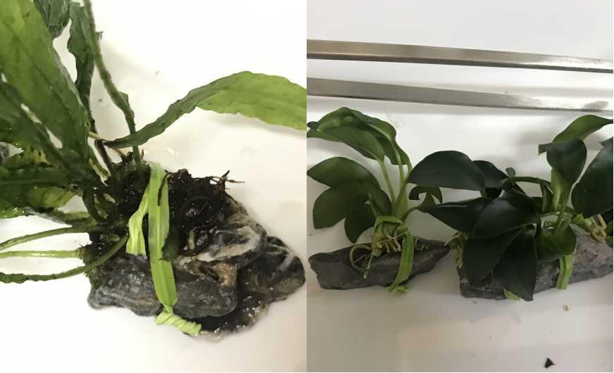 ビニタイを使った水草の活着方法